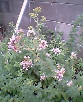 オレガノ開花